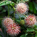 "Cincinnati – Spring Grove Cemetery & Arboretum ""Button Bush - Spiked Flower"