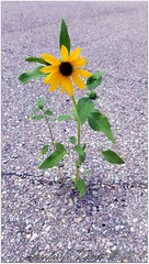 Alone in the World (ctofcsco) Tags: sunflower pavement isolation weed flower grass usa north america explore esplora nature yellow green gray brown explored photo image digital renown pretty samsung galaxy s8 cell phone backlight blacktop crack cracked