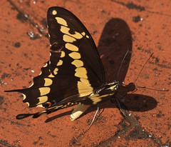 Puddling on the patio (Distraction Limited) Tags: papiliocresphontes giantswallowtail papilio swallowtails butterflies puddling tucson arizona papiliocresphontes20180713 explore