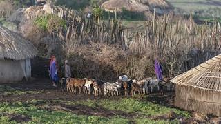 Maasai morning milking