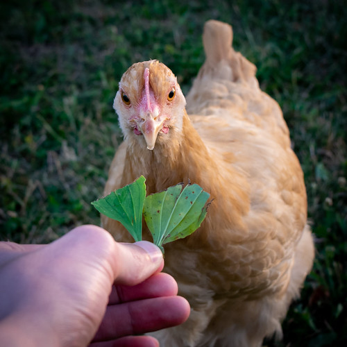 Hand-Fed Hen