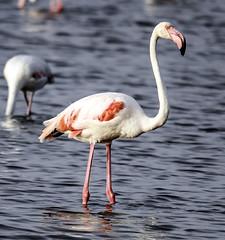 Flamenco  - Flamingo (ibzsierra) Tags: ibiza eivissa baleares canon 7d flamenco flamingo ave bird oiseau salinas parque natural tamron g2 150600