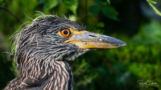 Yellow-crowned Night Heron - Nyctanassa violacea | 2018 - 5