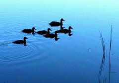 Early morning ducks (sakarip) Tags: sakarip ducks birds silence morning calm still silent blue water lakekivijärvi luumäki silhouette mirror finland summer silenceisgolden 6 six sorsat reeds reed reflection