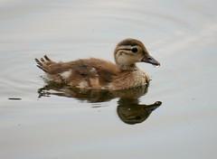 Mandarin duckling (PhotoLoonie) Tags: duck duckling mandarinduck waterbird perchingduck aixgalericulata bird
