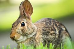 Baby Bunny (FitzJohnson) Tags: rabbit cottontail nature animal animalportrait fur ears mammal bugsbunny wild rebel canon canonrebel t3i 600d bunny easter cute outside depthoffield dof bokeh nebraska
