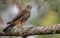 Kārearea 184 (Black Stallion Photography) Tags: adult male newzealand falcon kārearea bird wildlife nzbirds prey yellow feet eye cere perch log brown feathers talons lichen black stallion photography igallopfree