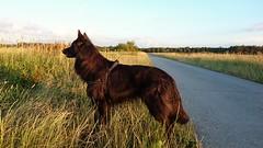 Totoro 🐶 (Jos Mecklenfeld) Tags: totoro dutchshepherd dutchshepherddog holländischerschäferhund hollandseherdershond hollandseherder shepherd herder herdershond dog hond hund sunset sonnenuntergang zonsondergang landscape landschaft landschap sonyxperiaz5 xperia