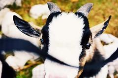 Goat in Bavarian hills, Obertraun (qqazwws18) Tags: