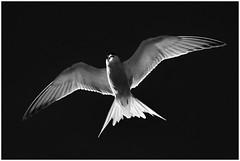 Common Tern (Full Moon Images) Tags: woodwalton fen greatfen bcn wildlife trust nnr national nature reserve cambridgeshire bird flight flying bw common tern
