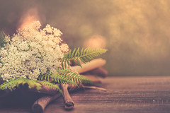Queen Anne's Lace flowers (Ro Cafe) Tags: 52semanas52palabras helios58mmf2 stilllife blanco blooms blossoms flowers white whiteflowers soft selective focus bokeh garden nikond600