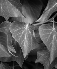 Electrical Storm (Katrina Wright) Tags: dsc6659 leaves veins pattern repetition bw nb monochrome macro