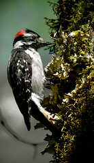 Banging away !! (wesleybarr1962) Tags: woodpecker downy downywoodpecker picoidespubescens