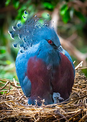 Crowned Pigeon and Chick (JKmedia) Tags: crowned pigeon chick nest young juvenile feathers avian chesterzoo boultonphotography 2018 new life