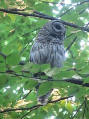 Barred Owl Above Me (amyboemig) Tags: range state park notch july summer barred owl mount holyoke