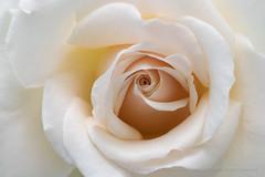 Pale_Rose_(I),_5.21.18 (pattyoboe) Tags: rosa roses flora flowers wgwalk