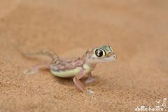 Namibisches Sandgecko (about-nature) Tags: namibia swakopmund erongo na