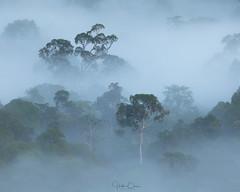 Slow Dance (Hilton Chen) Tags: malaysia landscape canopy sunrise borneo silhouette minimalist rainforest foggy danumvalley misty tropical forest lahaddatu sabah my