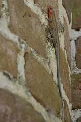 2018 05 06 016 Prince William's Parish Church (Mark Baker.) Tags: 2018 america baker carolina mark may north prince sheldon south us usa williams church day outdoor photo photograph picsmark spring states united lizard