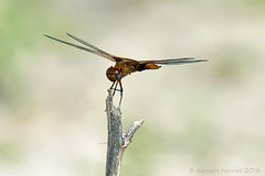 RED SADDLEBAGS 3 (k.nanney) Tags: redsaddlebags trameaonusta dragonflies skimmers odonata libellulidae insects texaswildlife texasinsects villagecreekdryingbeds arlington texas tx nikon d750 tamronsp150600mmf563divcusd kennethnanney kennanney nanney