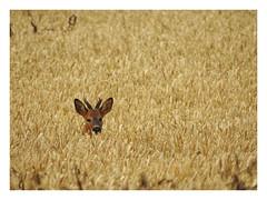 Capreolus capreolus ♂ (Vulpe Photographie) Tags: animal deer roedeer chevreuil brocard champ wildlife wildlifephoto wildlifephotography france normandie normandy eure nikon coolpix p900