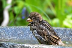 DSC_7734 Junger Spatz beim Baden (Charli 49) Tags: nature naturfotografie tier animal vogel bird nikon d7200 wildlife garten sperling vogelbad vogeltränke