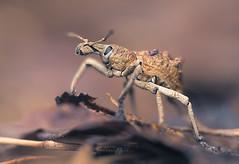 Weevil (Leptopius sp.) (Kristian Bell) Tags: leptopius weevil cape york invertebrate animal wild wildlife fauna queensland australia small macro kris kristian bell