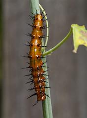 Gulf Fritillary caterpillar (Agraulis vanillae) (AllHarts) Tags: gulffritillarycaterpillaragraulisvanillae backyardbutterflies midtownmemphis naturesspirit thesunshinegroup butterflygallery challengeclubchampions
