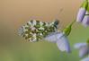 oranjetipje (Anthocharis cardamines) (peter nijland) Tags: twente dinkelland almelonordhornkanaal denekamp vlinders buterfly tamron 90mm macro