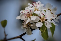 Birnbaumblüte (Toledo 22) Tags: natur ast baum obstbäume blüte birnbaumblüte birne