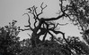 Tree monsters (MJ6606) Tags: wood trees spring landscape wildlife dry blackandwhite nature leafs silhouette sky outdoor bw branches morning florida
