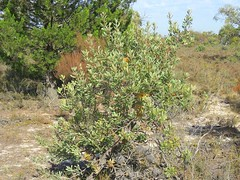 Banksia ornate 2 (barryaceae) Tags: australia
