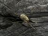 Famille Phalangiidae - Opilio parietinus (Répertoire des insectes du Québec) Tags: arachnide araignée arachnida macro quebec spider