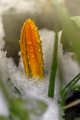 Crocus in snow (kvl23) Tags: snow crocus flower flowers nature photograph beauty closeup russia arkhangelsk drops frost spring springtime