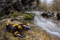 Salamandra salamandra (fire salamander) (Federico Crovetto - www.federicocrovetto.it) Tags: salamander firesalamander salamandrasalamandra amphibia amphibian caudata