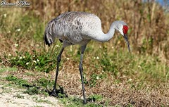 Just a walk in the park (Shannon Rose O'Shea) Tags: shannonroseoshea shannonosheawildlifephotography shannonoshea shannon sandhillcrane crane bird beak skinnylegs feathers redhead nature wildlife waterfowl wild wildlifephotography wildlifephotographer orlandowetlandspark christmas florida flickr wwwflickrcomphotosshannonroseoshea colorful art photo photography photograph gruscanadensis outdoors outdoor fauna yelloweye bustle grass bokeh canon canoneos80d canon80d eos80d 80d canon100400mm14556lisiiusm throughherlens thl femalephotographer girlphotographer shootlikeagirl shootwithacamera