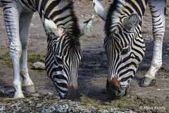 Zebras - 17041801 (Klaus Kehrls) Tags: tiere natur zebras zoo hagenbeck