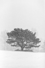 Snow Falling on Lone Pine Tree in Central Michigan (Lee Rentz) Tags: april canadianlakes alone aloneness america blizzard branches byitself centralmichigan conifer desolate easternwhitepine evergreen falling field flakes flora forlorn forsaken impressionistic individual isolated lone lonely lonesome lowerpeninsula meadow michigan needles northamerica one pine pineneedles pinusstrobus plant snow snowflakes snowing snowstorm snowy solitary solo stanwood tree trees trunk usa white whitepine winter