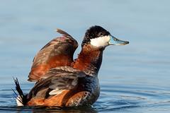 Injured Ruddy Duck-49981.jpg (Mully410 * Images) Tags: avian duck birding stcroixriver injury flap ruddyduck bird birds pointdouglas birdwatching fowl hastings birder waterfowl