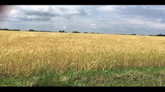 """From the song: """"America the Beautiful"""" (visualize the lyrics)  """"Amber waves of grain"""" (fishhawk) Tags: amberwavesofgrain americathebeautiful song lyrics visualization"""