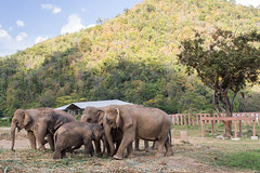 Family (Half Lion Media) Tags: 2015 chiangmai elephants naturepark thailand