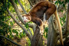 At Home in the Trees (helenehoffman) Tags: treekangaroo dendrolagusmatschiei papuanewguinea sandiegozoosafaripark huontreekangaroo conservationstatusendangered matschiestreekangaroo animal walkaboutaustralia macropod mammal marsupial