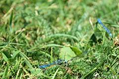 L'amour est dans le pré :-) (jean-daniel david) Tags: agrion demoiselle libellule insecte insectevolant herbe pelouse bokeh nature accouplement couple duo concise suisse suisseromande vaud bleu vert verdure