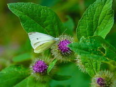 Large White butterfly (Claire Louise Beyga) Tags: 10th july 100718 tuesda tuesday walk nature dogwalks dogwalkparkcroxteth outdoors outdoor liverpool summer days sunny sunshine heatwave warm weather white large insect insects uk england bugs bug bugslife
