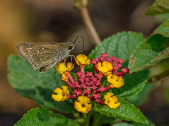 Skipper on lantana camara flowers (Robert-Ang) Tags: skipper lantana camara nature wildlife jurongecogarden singapore