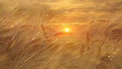Summer Feelings.... (Piet photography) Tags: sunset gold fieldofbarley summer atmosphere
