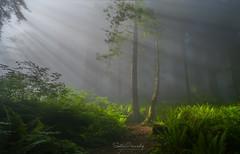 Light through the Fog. (Del Norte Redwood Forest, CA) (Sveta Imnadze) Tags: nature landscape redwoods forest fog mistyforest delnorteredwoods ca