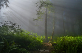 Light through the Fog. (Del Norte Redwood Forest, CA)
