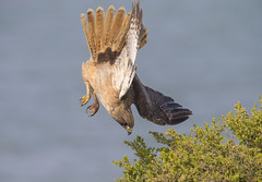 DIVE DIVE!! (Hockey.Lover) Tags: redtailedhawk birds haywardregionalshoreline franksdump