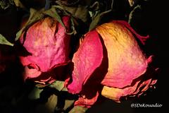 Dried Roses (Stephenie DeKouadio) Tags: canon photography beautiful beauty flowers flower macrophotography macro roses rose shadows shadow darkandlight light